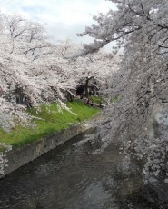 岩倉は自慢の花見スポットです